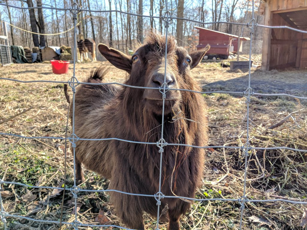 Goat behind wire fence
