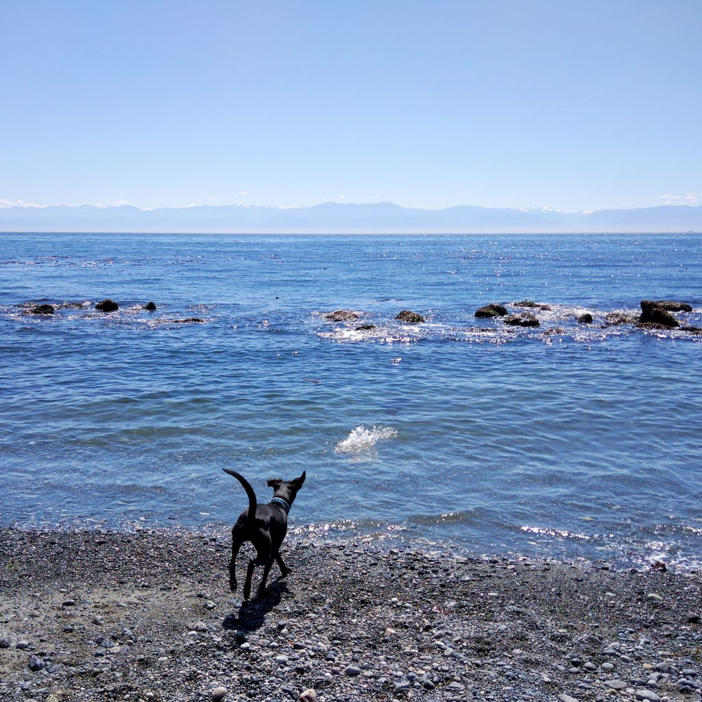 our dog Odin playing fetch at a beach in Victoria Canada