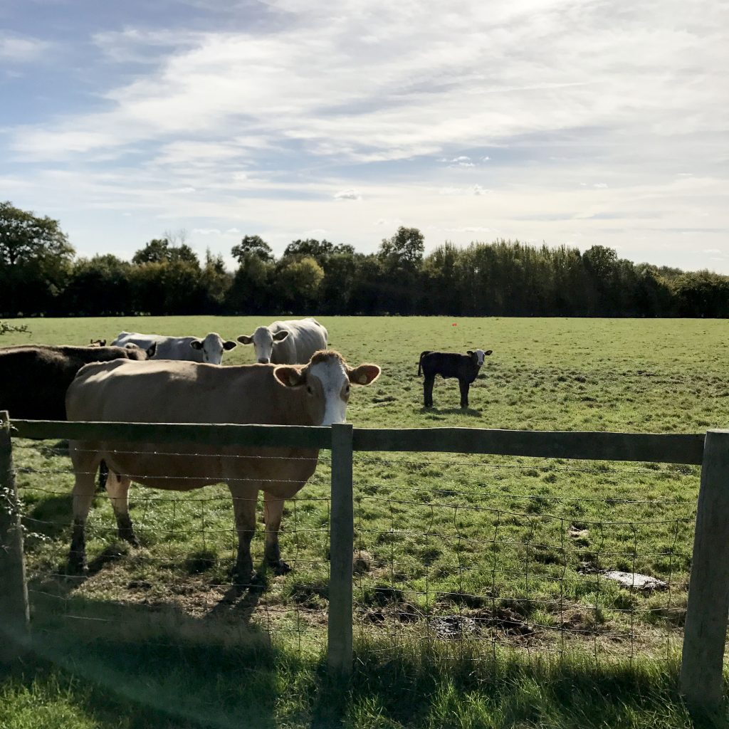 cows in countryside pasture in Benenden, England