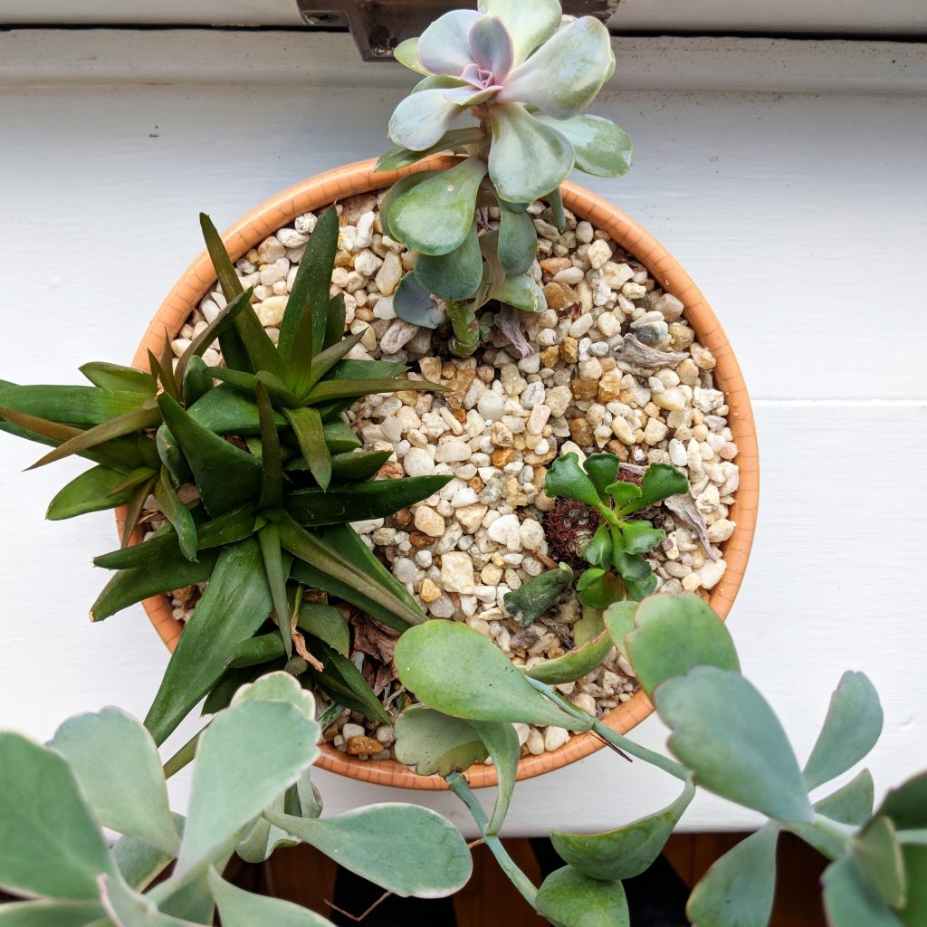 succulent plants in window silll