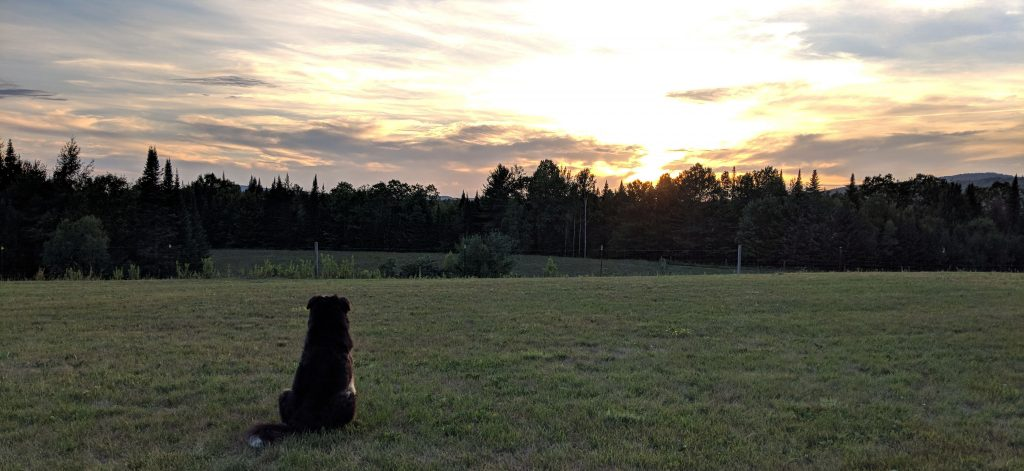 Lucy the farm dog watching the sun set