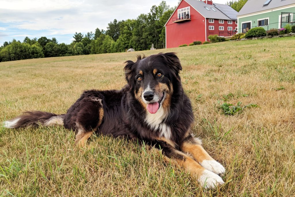 Lucy the farm dog
