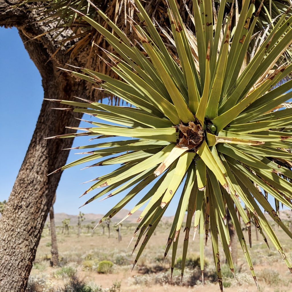 up close view of tree in Joshua Tree National Park